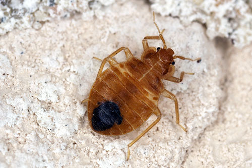 Bed Bugs And Disease – What You Didn't Know